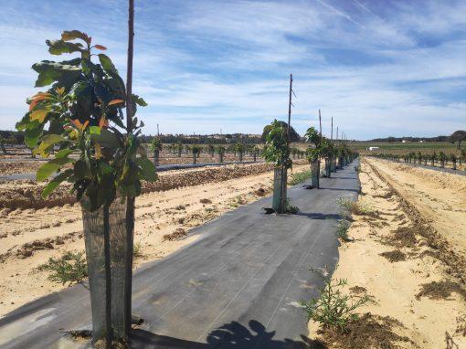 Proyecto de puesta en riego de cultivos de aguacate en el término municipal de Gibraleón